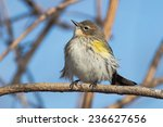Yellow Rumped Warbler Perched...