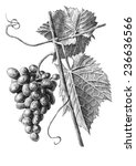 illustration with grapes and...   Shutterstock .eps vector #236636566