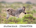 Foal Of A Plains Zebra  Equus...