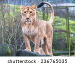 Asiatic Lioness Standing On The ...