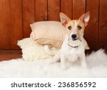 Funny Little Dog Jack Russell...