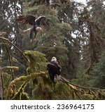 A Juvenile Bald Eagle Takes Off ...