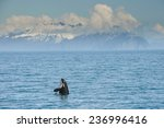 orca whale jumping in... | Shutterstock . vector #236996416