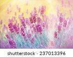 beautiful lavender in flower... | Shutterstock . vector #237013396