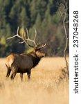a large bull north american elk ...