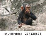 Little Chimpanzee  Pan...