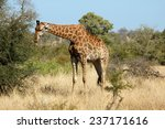 giraffe | Shutterstock . vector #237171616