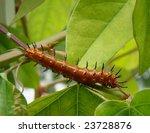 Caterpillar  Gulf Fritillary ...