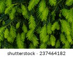 bright green growing tips on... | Shutterstock . vector #237464182