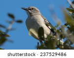 Northern Mockingbird Mimus...