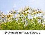 White Flower In Garden In The...