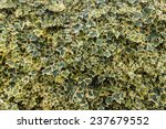 Small photo of Algerian ivy leaves