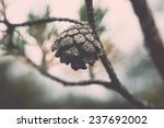 Branch With Cones. Larix...