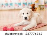 Stock photo golden retriever puppy playing with toy at room 237776362