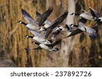Canada Geese Flying Across The...