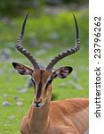 black faced impala  aepyceros... | Shutterstock . vector #23796262