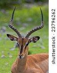 black faced impala  aepyceros...   Shutterstock . vector #23796262