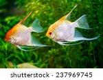 Gold Veil Angelfish Two...