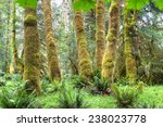 Trees covered in moss in a temperate Hoh Rain Forest, Olympic National Park, Washington, USA - stock photo