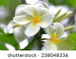 Tiare Flower   Vanuatu