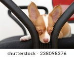 sleepy chihuahua puppy   Shutterstock . vector #238098376