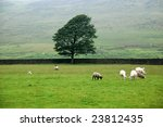 Sheep on a meadow in England - stock photo