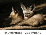Bat Eared Fox Cubs  Otocyon...