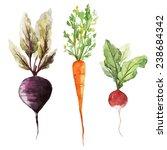 root vegetable  watercolor ... | Shutterstock .eps vector #238684342