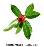 Small photo of Sprig of green American Holly leaves and red berries isolated against a white background.