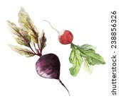 beets  radishes  watercolor | Shutterstock .eps vector #238856326