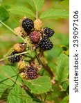 Small photo of agrestic blackberries growing on the bush in forest