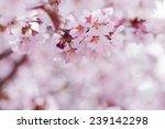 sakura in bloom close up photo  ...   Shutterstock . vector #239142298