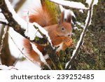 Red Squirrel Sitting On The...
