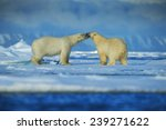 Polar Bears Couple Cuddling On...