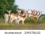 A Group Of Young Fallow Deer I...