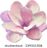 Stock vector vector illustration of a tender pink magnolia flower isolated on white background 239331508