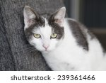 Calico Cat On Chair In Living...