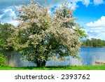A Blooming Apple Tree At...