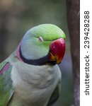 Sleepy Green Ringneck Parrot