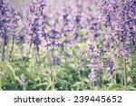 purple salvia flowers   Shutterstock . vector #239445652