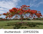 A Flamboyant Tree In Red Bloom...