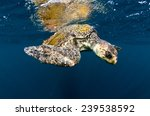 an olive ridley sea turtle... | Shutterstock . vector #239538592