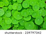 green leaves nature backgrounds ... | Shutterstock . vector #239797342