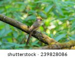 spectacled barwing | Shutterstock . vector #239828086