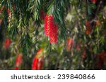 Bottle Brush Plant Flower.