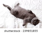 Stock photo gray cat on a white bed sheets 239851855