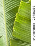 fresh green banana leaf  can be ... | Shutterstock . vector #23986393