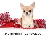 Chihuahua Dog Lying In Red...