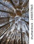 looking cedar forest | Shutterstock . vector #240057865