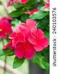 Small photo of beautiful red vinca flowers(madagascar periwinkle)